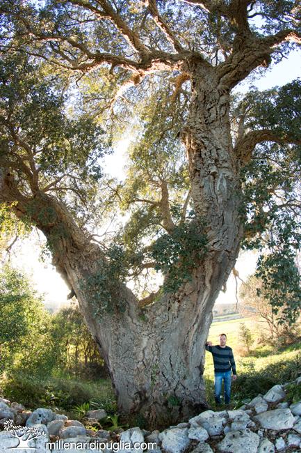 La quercia da sughero pi grande di pugliamillenari di puglia - Sughero pianta da giardino ...