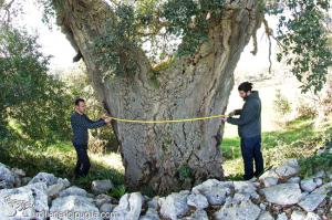 La quercia da sughero pi grande di pugliamillenari di puglia for Alberi in vendita