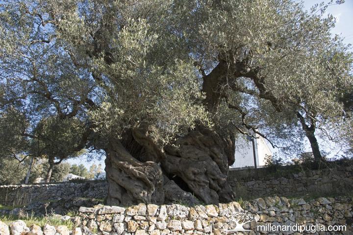Giganti di Puglia: un premio al miglior ulivo monumentale di Puglia
